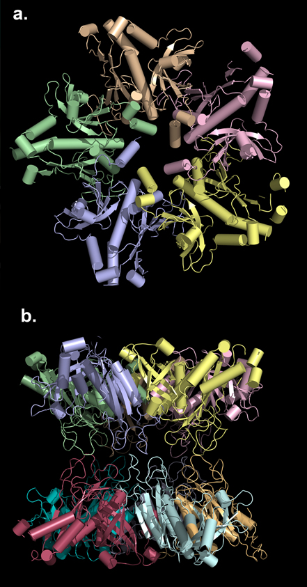 Biomolecular Structure - Top (a) and side (b) view of the experimental three-dimensional model of the decameric cytosolic glutamine synthetase from the model legume Medicago truncatula.